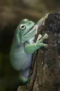 Australian White's Tree Frogs