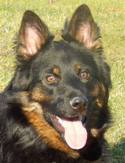 bohemian shepherd info temperament puppies pictures