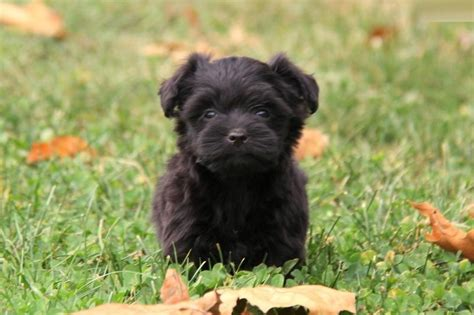 Yorkie Poo Puppies Rescue Pictures Information Temperament Characteristics Animals Breeds