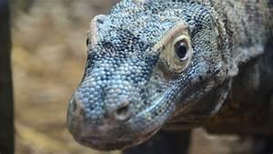 Attenborough, Komodo, Dragon, House