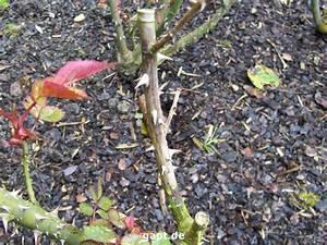 Kletterrosen Richtig Pflanzen : rosenschnitt im herbst beetrosen schneiden beetrosen pflanzen schneiden rosenschnitt wie man ~ Markanthonyermac.com Haus und Dekorationen