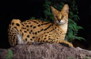 big cat species 1000 images about serval on
