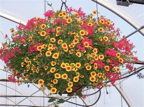 cosmos hanging basket greenmylife   garden