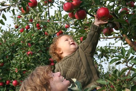 where to go for apple picking discover apple picking 9 pick your own orchards on long island