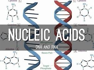 Nucleic Acids By Stephany Angel