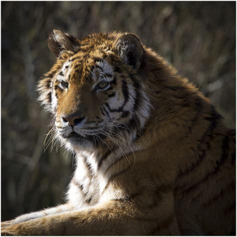 wildlife examples tiger ephotozine
