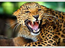 National animal of Brazil interesting facts about Jaguar