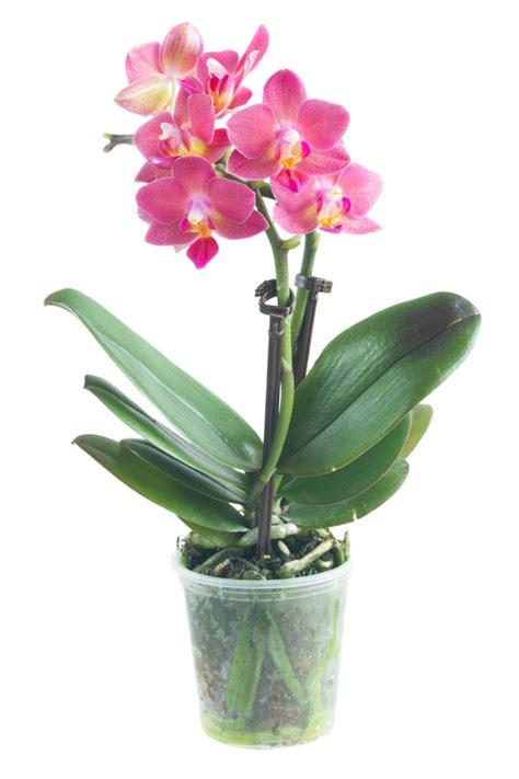 cuisiner banane plantain entretien orchidee en pot 28 images pot orchidee