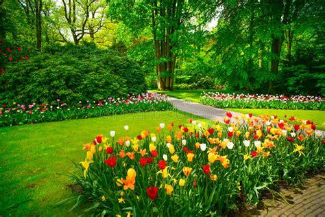 tulip flower garden free stock garden in keukenhof tulip flowers netherlands stock photo image of flower celebration 39115310