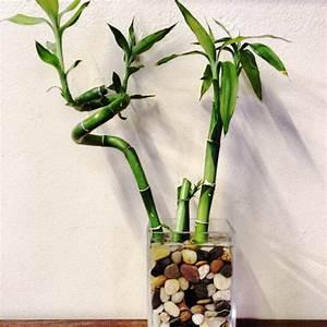 lucky bamboo als zimmerpflanze pflegen With französischer balkon mit pflanzen für zen garten