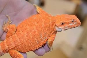 The 25+ best Red bearded dragon ideas on Pinterest ...