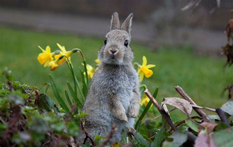 how to keep bunnies out of your garden how to keep rabbits out of your garden the field