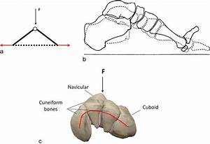 A  The Longitudinal Arch Of The Foot Represented By A