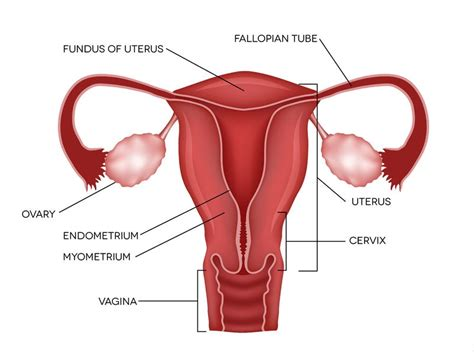An Overview of the Ovaries - Estrogen, Progesterone, and ...