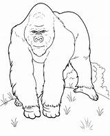 Coloring Gorilla Pages Realistic Animals Topcoloringpages Printable Animal Jungle Whitesbelfast sketch template