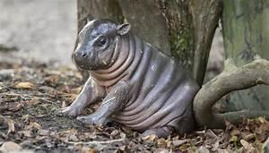 Raro Hipoptamo Pigmeo Naci En Zoolgico Sueco Cubadebate