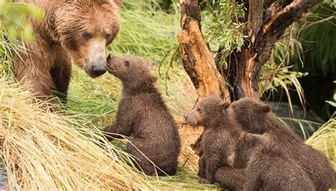 grizzly bears communicate animals momme
