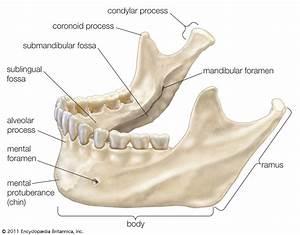 Mandible; Lower Jaw