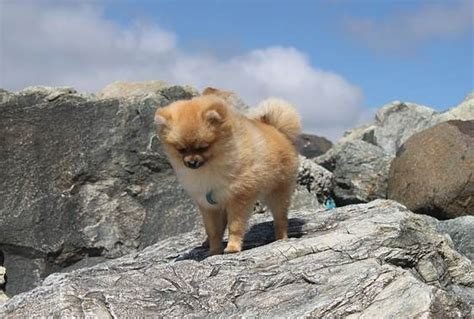 pomeranians breed specific information