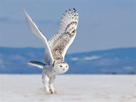 flying animal  snowy owl