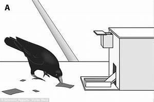 Crows Can Make Tools From Memory And Will Improve On Own