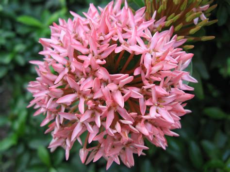 for plants ixora coccinea images useful tropical plants