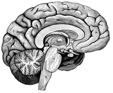 left    brain clipart