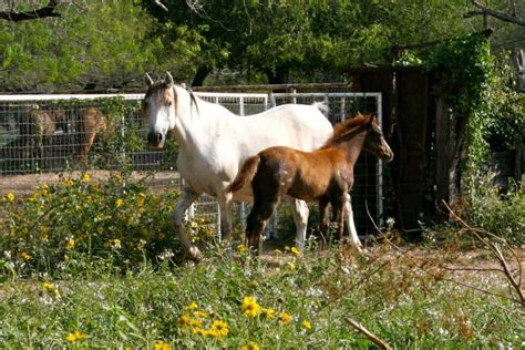 sorrel horse andalusian quarter dam gray foal spots sire 10mo 2mo mare might