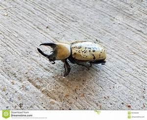 Großer Schwarzer Käfer Bilder : gro er m nnlicher herkules k fer mit h rnern auf zement stockbild bild von insekt wildnis ~ Frokenaadalensverden.com Haus und Dekorationen