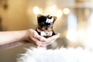Cute Baby Teacup Yorkie Puppies