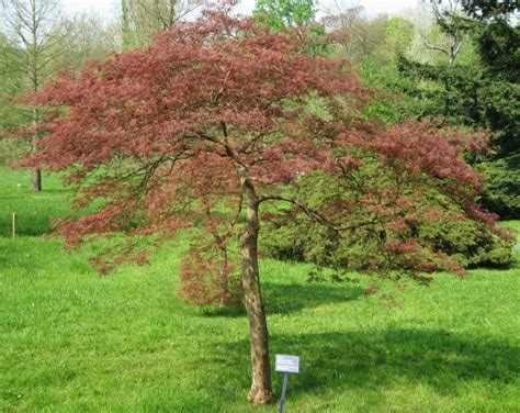 prune acer pruning japanese maple trees how to trim prune