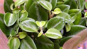 Plante Succulente Espèces Représentatives : photo peperomia ~ Nature-et-papiers.com Idées de Décoration