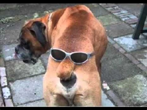 funny dogs  coolest dog   youtube