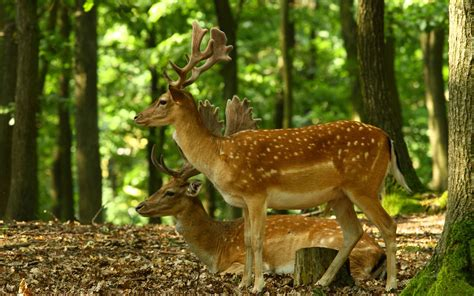 Animal Deer Wallpaper - forest animals deer beautiful image hd wallpapers rocks