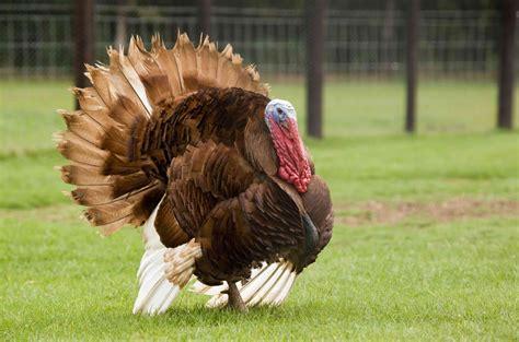 wwwpoultryshrinkbagscom turkey size shrink bagsyou