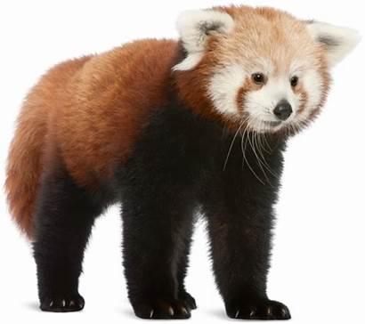 Panda Transparent Roter Clip Clipart Hellabrunn Bear