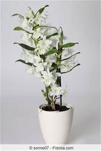 Bambus Pflege Zimmerpflanze : dendrobium nobile orchidee pflege zum bl hen bringen ~ Michelbontemps.com Haus und Dekorationen