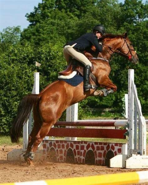 horse jumping horses jumper breeds zweibrucken warmblood breed hunter english riding jump dressage german horseback funny riders saarland rhineland palatinate