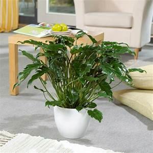 Zimmerpflanzen Für Schatten : zimmerpflanzen f r das perfekte ambiente im haus ~ Michelbontemps.com Haus und Dekorationen