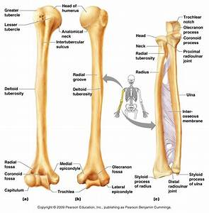 Arm And Shoulders Bone Labeled - Human Body Anatomy System