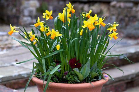 daffodil pot display gardenersworld