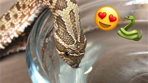 adorable   snake drinks water youtube