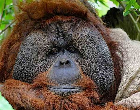 blessed   orangutan peacemakers boing boing