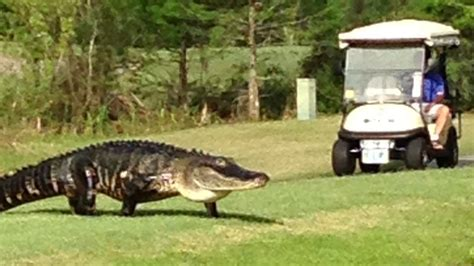 large alligator spotted  florida golf