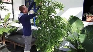 Comment Tailler Un Ficus : comment tailler les ficus youtube ~ Melissatoandfro.com Idées de Décoration
