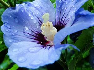 Blue Flower Picture, Beautiful Flowers with Rain Drops ...