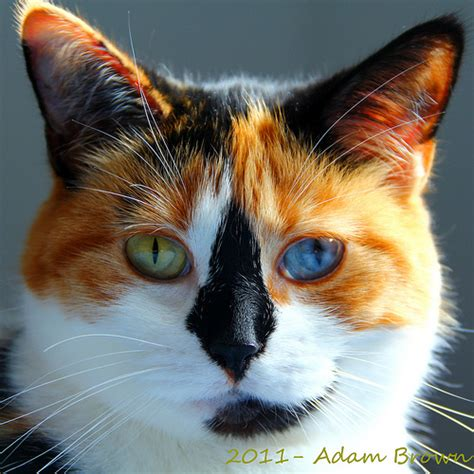 eye spy  cats  mismatching eyes catster