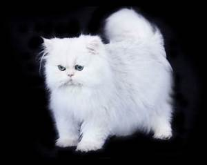 Isaac-white-chinchilla-silver-teacup-persian-cat-2 ...