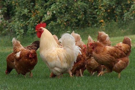 allevare animali da cortile e tornato di moda allevare galline urca urca