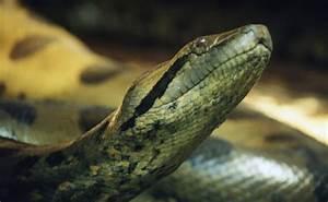 Animals world: Anaconda snakes